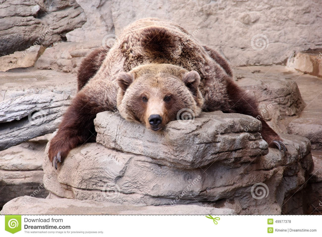 Relaxing Grizzly Bear Teddy Bear Rug Stock Photo Image 49977378 In Teddy Bear Rugs (View 13 of 15)