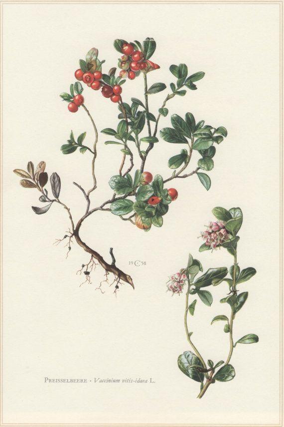 1960 Botanical Print Calluna Vulgaris Heathercraftissimo Pertaining To Botanical Prints Etsy (Image 3 of 20)