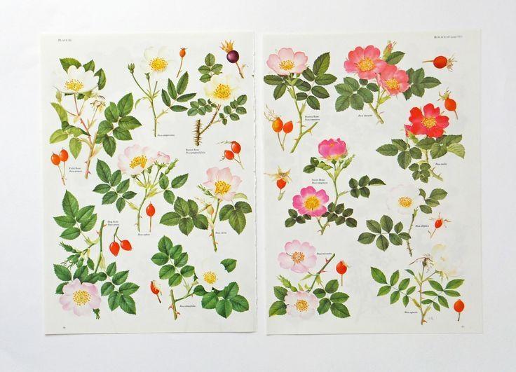 353 Best Wild Roses Images On Pinterest | Botany, Botanical In Botanical Prints Etsy (Image 9 of 20)