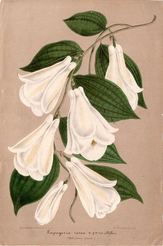 735 Best Botanical Prints 1 Images On Pinterest | Botanical Prints Within Botanical Prints Etsy (Image 13 of 20)