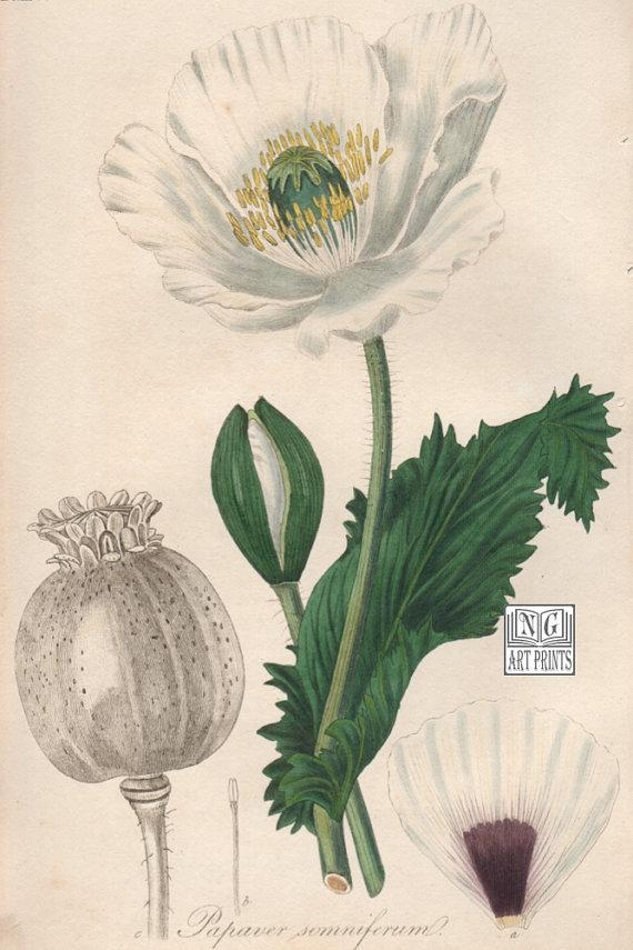 Items Similar To 1800S Botanical Print, Poppy Botanical Wall Art For Botanical Prints Etsy (View 3 of 20)