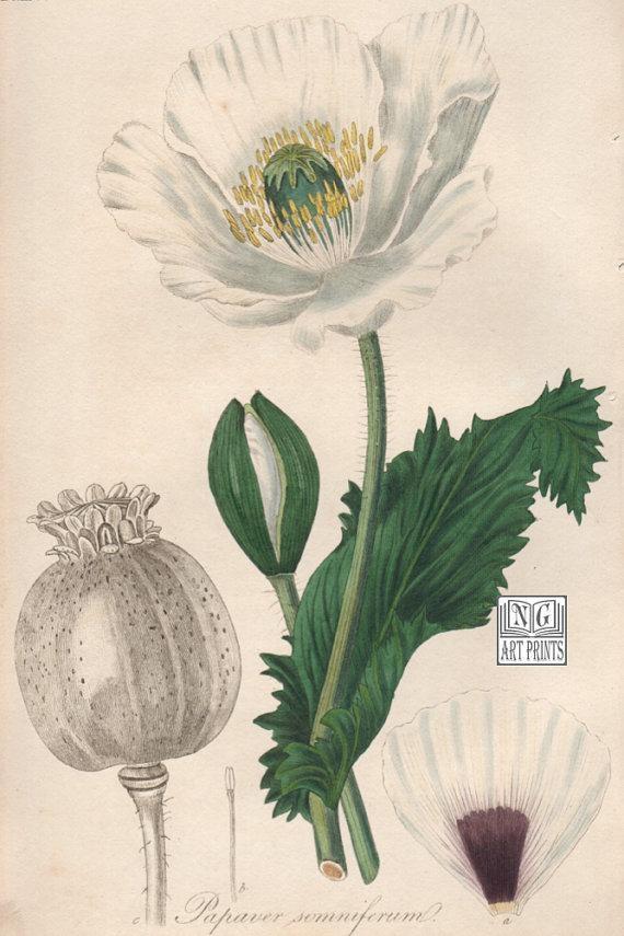 Items Similar To 1800S Botanical Print, Poppy Botanical Wall Art For Botanical Prints Etsy (Image 20 of 20)