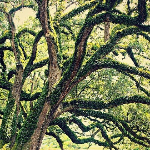 19 Best Live Oaks Images On Pinterest | Oak Tree, Spanish Moss And In Live Oak Tree Wall Art (View 10 of 20)