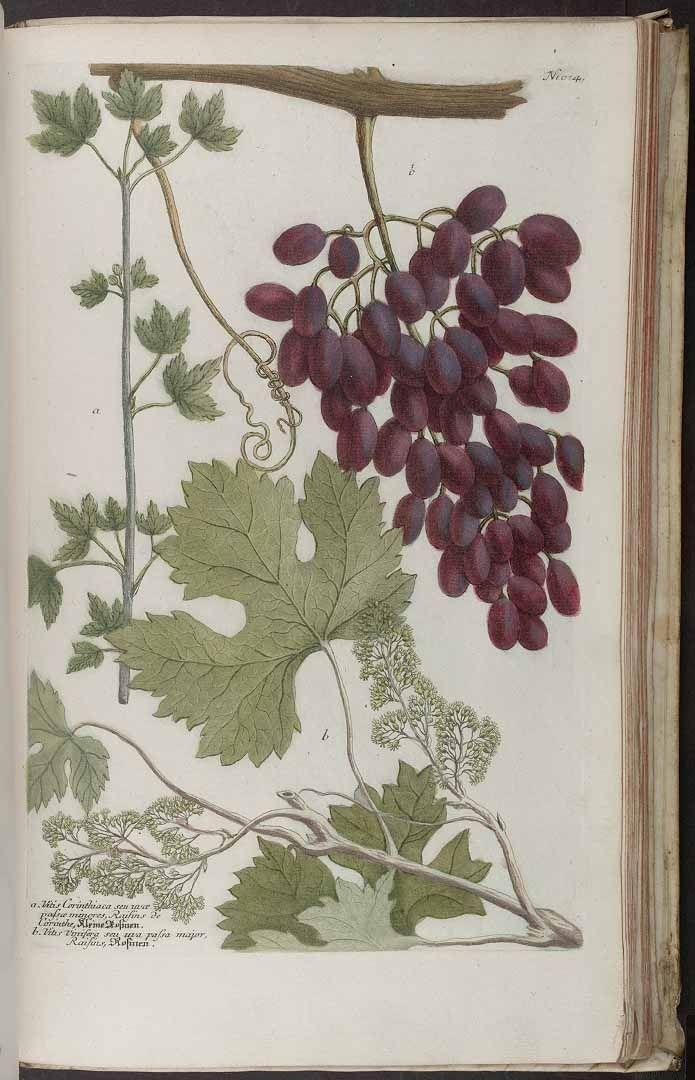 38 Best 葡萄 Images On Pinterest | Grape Vines, Painting And Botany Throughout Grape Vineyard Wall Art (Image 5 of 20)