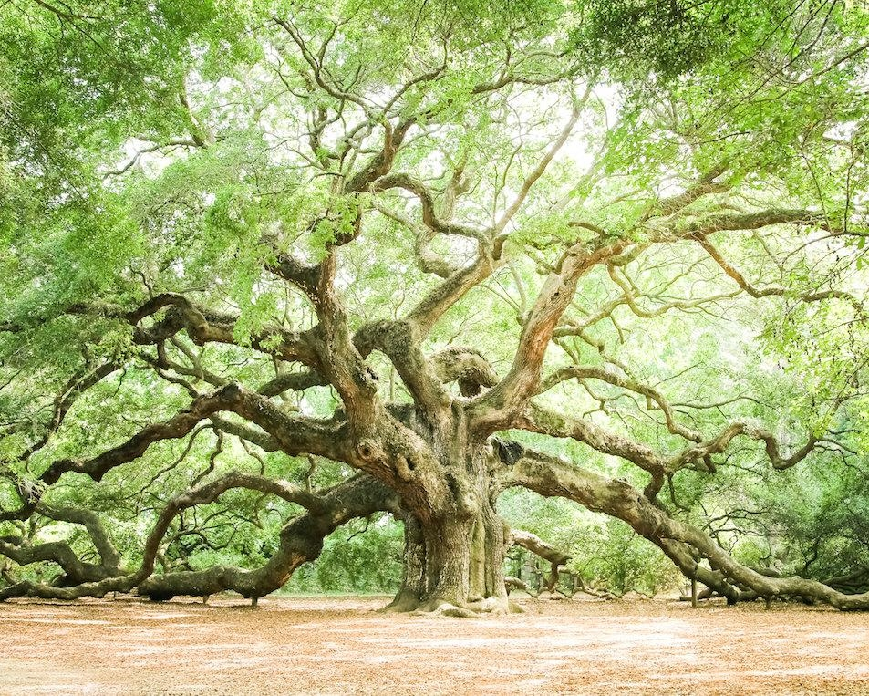 Featured Image of Live Oak Tree Wall Art
