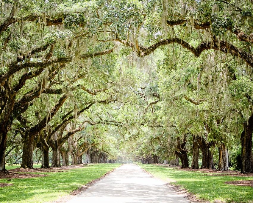 Charleston Art Road Photography Tree Lined Live Oaks Art With Regard To Live Oak Tree Wall Art (Image 10 of 20)