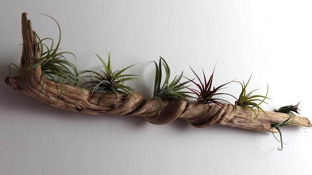 Diy West Elm Style Bubble Air Plants | Tauni + Co For Air Plant Wall Art (View 4 of 20)