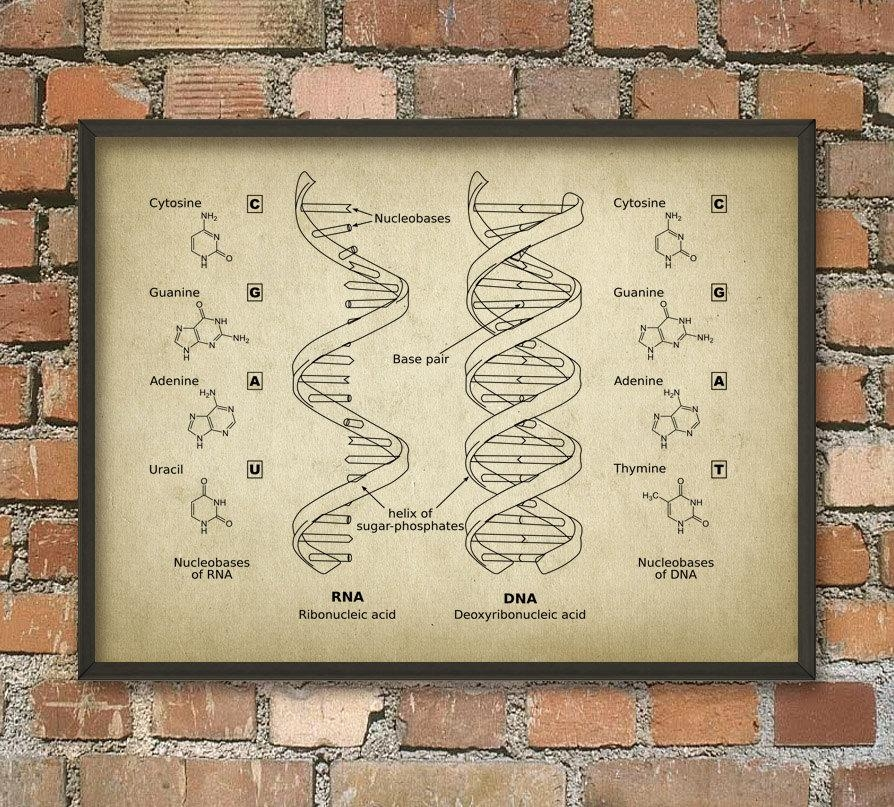 Dna And Rna Wall Art Poster Biology Student Art Poster Intended For Dna Wall Art (Image 8 of 20)