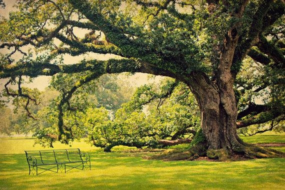 Live Oak Tree Photo Oak Alley Plantation Louisiana Inside Live Oak Tree Wall Art (View 15 of 20)