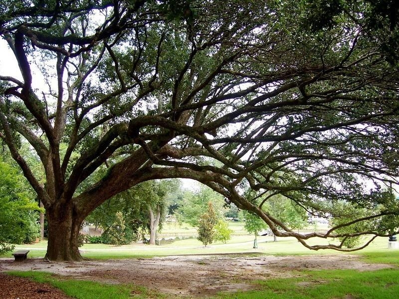 Live Oak Tree Photo Sprawling Branches Green Brown Wall Art Inside Live Oak Tree Wall Art (Image 14 of 20)