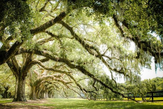 Low Country Art Live Oak Tree Photography Spanish Moss Intended For Live Oak Tree Wall Art (Image 17 of 20)