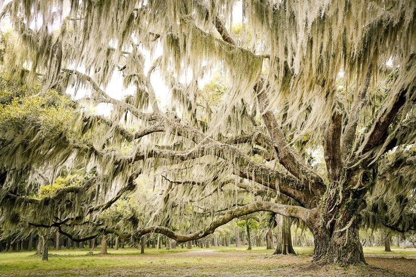 Low Country Art Southern Decor Spanish Moss Live Oak Tree For Live Oak Tree Wall Art (Image 18 of 20)