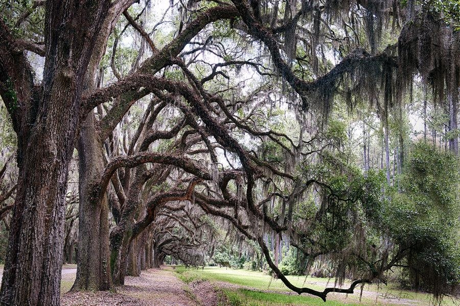Savannah Southern Wormsloe Plantation Landscape Photography Within Live Oak Tree Wall Art (Image 20 of 20)