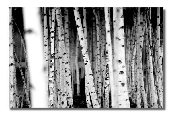 Black And White Trees | Picture Art :: Photographers :: Sunny Regarding Black And White Photography Canvas Wall Art (View 19 of 20)