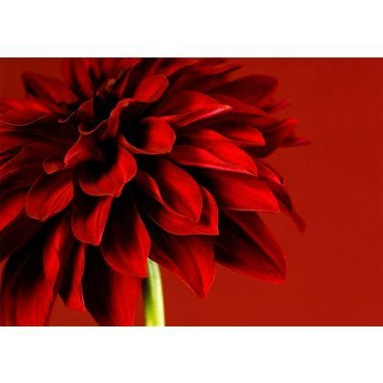 Graham & Brown Red Dahlia Wall Art (Image 7 of 20)