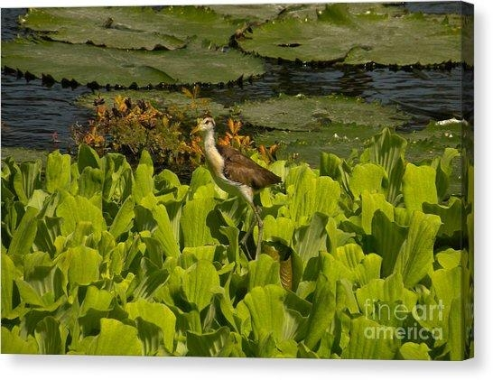 Northern Jacana Canvas Prints | Fine Art America For Jacana Canvas Wall Art (Image 5 of 20)
