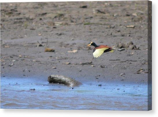 Northern Jacana Canvas Prints | Fine Art America In Jacana Canvas Wall Art (Image 6 of 20)