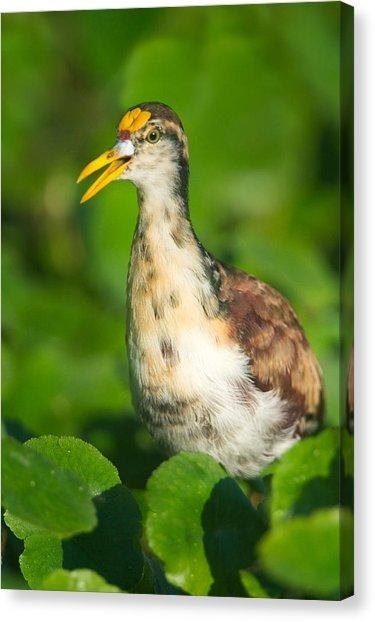 Northern Jacana Canvas Prints | Fine Art America Intended For Jacana Canvas Wall Art (View 6 of 20)