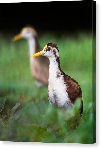 Northern Jacana Canvas Prints | Fine Art America Intended For Jacana Canvas Wall Art (Image 7 of 20)