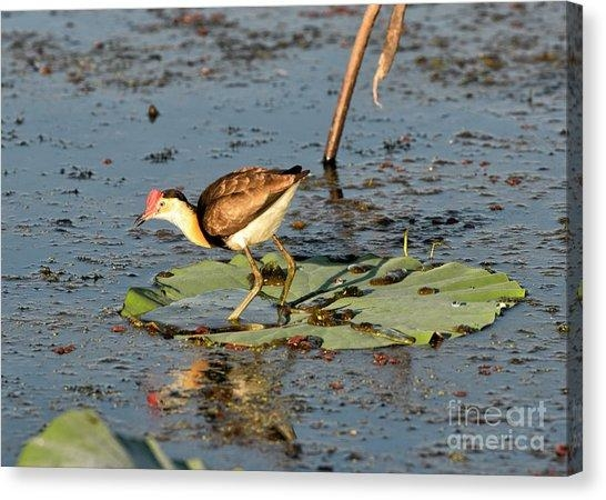 Northern Jacana Canvas Prints | Fine Art America Regarding Jacana Canvas Wall Art (View 4 of 20)