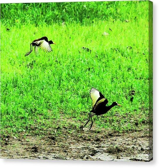 Northern Jacana Canvas Prints | Fine Art America With Jacana Canvas Wall Art (Image 11 of 20)