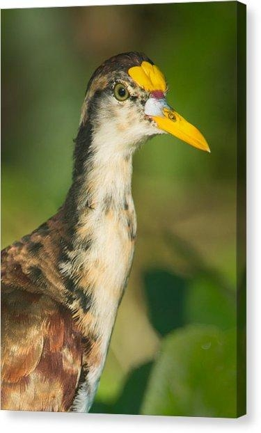 Northern Jacana Canvas Prints | Fine Art America With Jacana Canvas Wall Art (View 11 of 20)