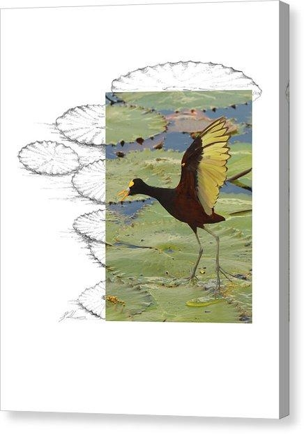 Northern Jacana Canvas Prints | Fine Art America With Regard To Jacana Canvas Wall Art (Image 13 of 20)