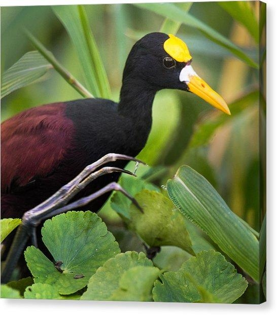Northern Jacana Canvas Prints   Fine Art America With Regard To Jacana Canvas Wall Art (View 2 of 20)