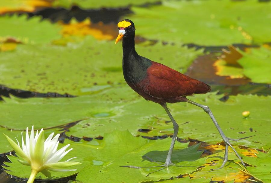 Northern Jacana Photographandrew Mcinnes With Regard To Jacana Canvas Wall Art (Image 14 of 20)