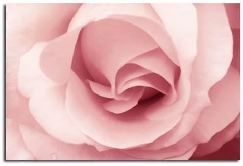 Pink Rose Canvas Wall Art Print 30X20 A1 76X52Cm Throughout Pink Canvas Wall Art (Image 10 of 20)