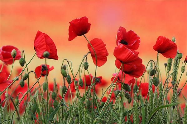 Poppies Wild Flowers Canvas Prints, Wall Art For Sale Pertaining To Poppies Canvas Wall Art (Image 13 of 20)