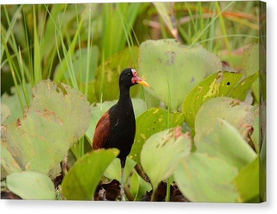 River Wattle Canvas Prints | Fine Art America With Jacana Canvas Wall Art (Image 16 of 20)