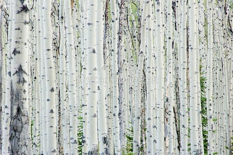 "White Birch Tree Forest"" Canvas Printsoscar Gutierrez 
