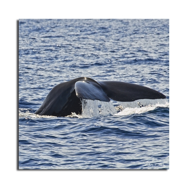 Christopher Doherty 'whale' Canvas Wall Art – Free Shipping Today Within Whale Canvas Wall Art (Image 3 of 10)