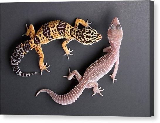 Leopard Gecko Canvas Prints | Fine Art America Throughout Gecko Canvas Wall Art (Image 7 of 10)