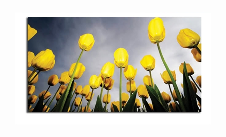 Long Stem Yellow Tulips Field Canvas Wall Art Picture Print 34X20 Throughout Long Canvas Wall Art (Image 6 of 10)