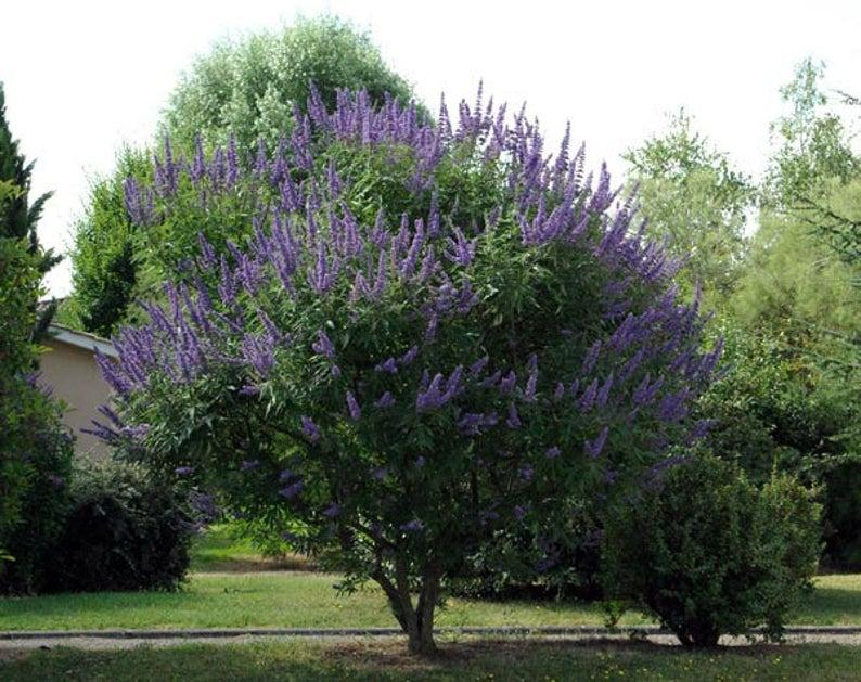 Vitex Agnus Castus | Monks Pepper | Chaste Tree | 10_Seeds Regarding Gattilier 3 Light Cluster Pendants (Photo 11 of 25)