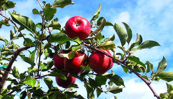 Apple Picking In America: 19 Best You Pick Orchards With Regard To Apple Orchard Printed Kitchen Tier Sets (View 4 of 25)