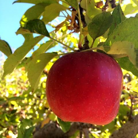 Picking Apples In Oak Glen, Calif (View 8 of 25)