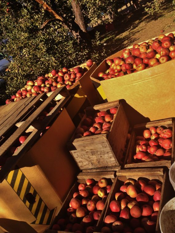 Top 5 Apple Picking Spots For Richmonders | Local Interest Throughout Apple Orchard Printed Kitchen Tier Sets (View 19 of 25)