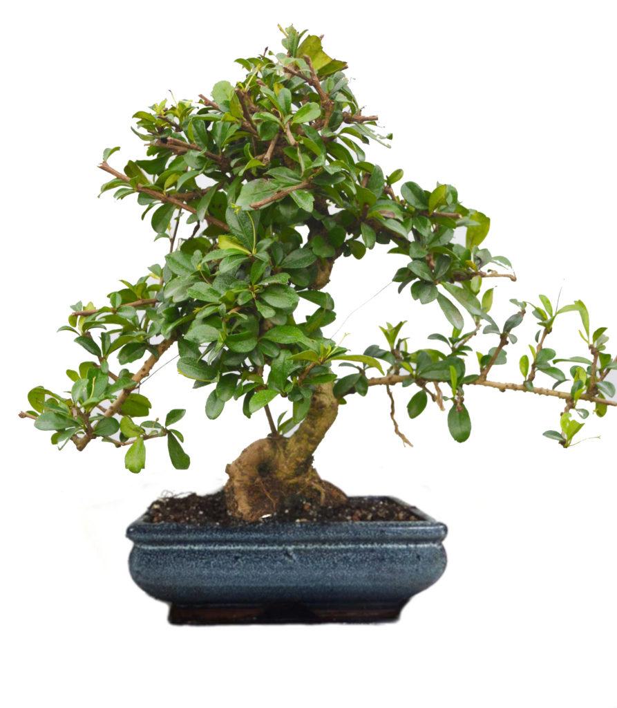Buy Carmona Bonsai Plant In Ceramic Pot – 9 Yrs Old – 30% Cashback | Abana Homes Throughout Carmon Ceramic Garden Tool (View 17 of 25)
