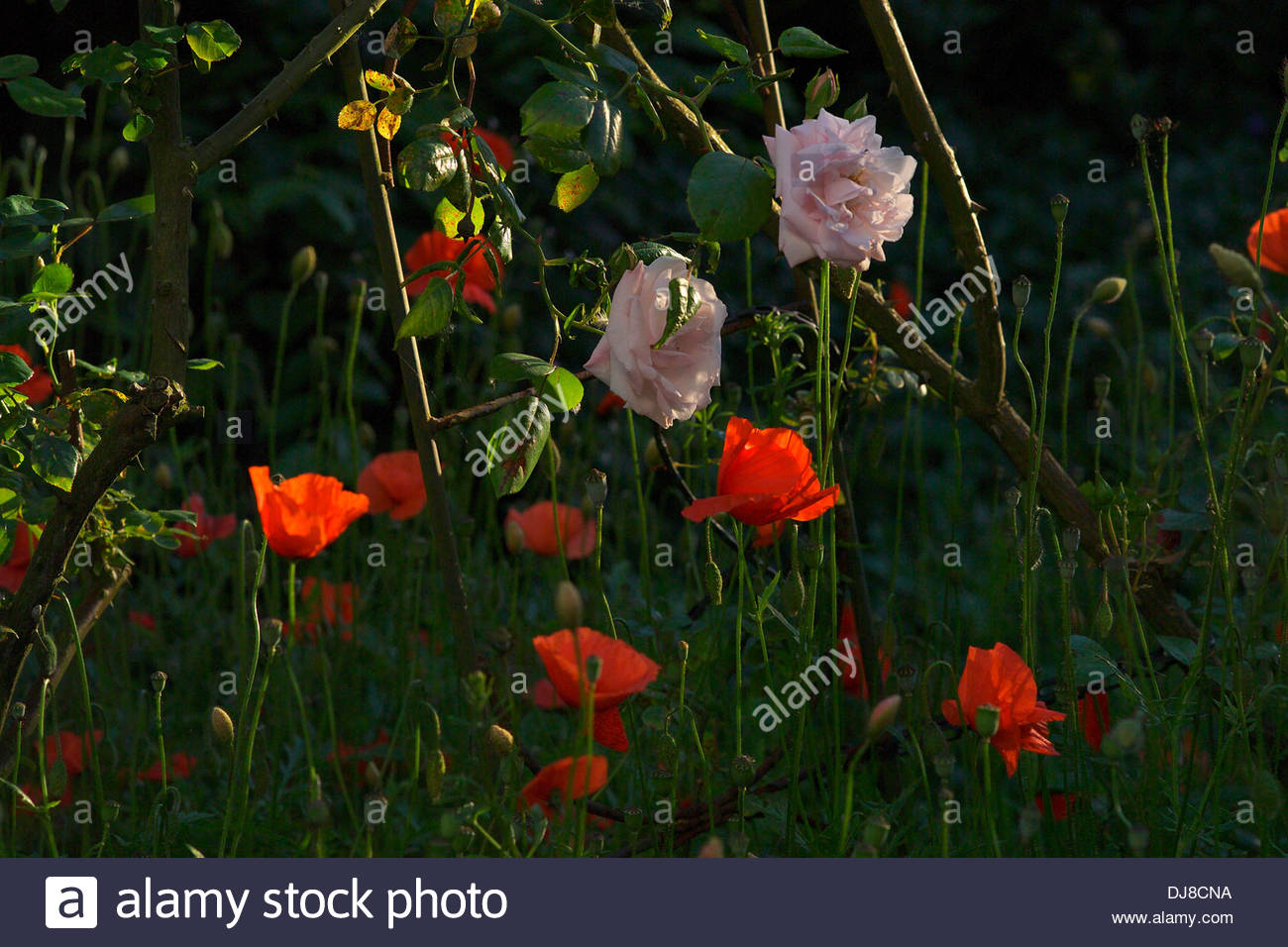 Pink Roses And Red Poppies Stock Photo – Alamy Intended For Wilde Poppies Ceramic Garden Stools (View 20 of 25)