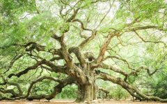 Live Oak Tree Wall Art